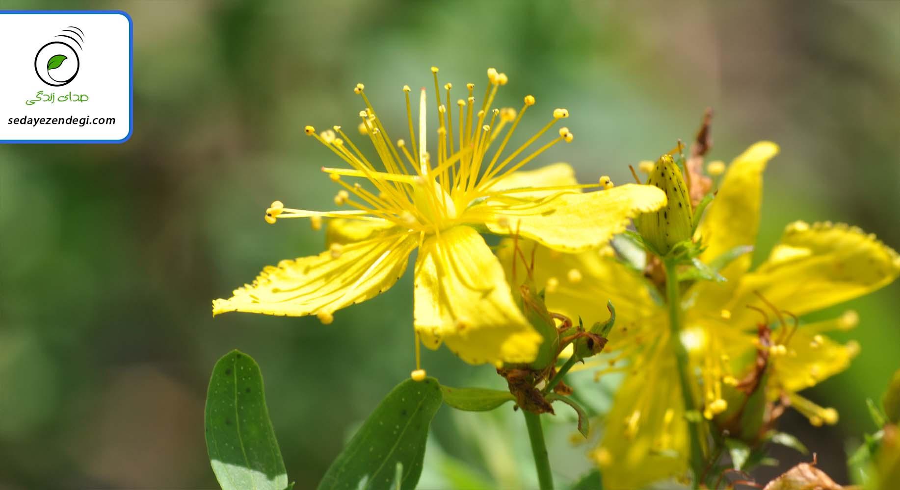 درمان افسردگی در خانه با داروهای گیاهی